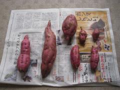 芋掘りでとってきた芋たち
